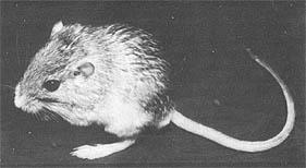 Pocket mouse